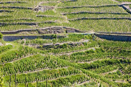 grand cru vineyard, L�Hermitage, Rh�ne-Alpes, France photo
