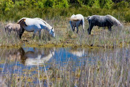 regional: Caballos de Camarga, Parque Regional de Camargue, Provenza, Francia Foto de archivo