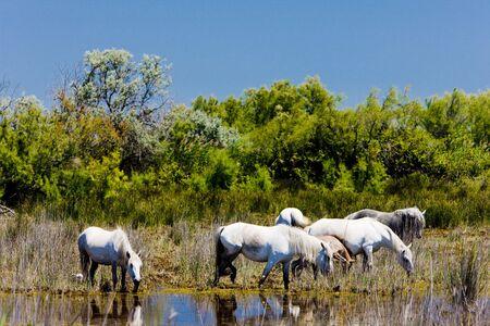regional: Caballos de Camarga, Parque Regional de Camargue, Provenza, Francia, Foto de archivo