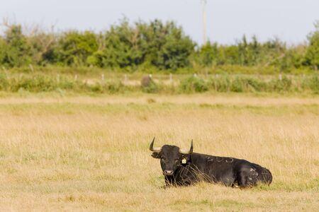regional: toro, Parque Regional de Camargue, Provenza, Francia,