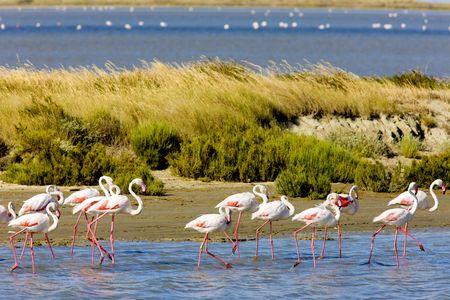 flamingo: flamingos, Parc Regional de Camargue, Provence, France