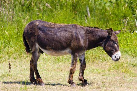 regional: burro, parque regional de Camargue Provenza, Francia  Foto de archivo