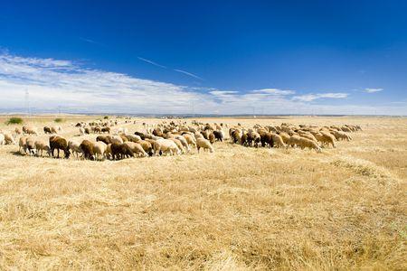 sheep herd, Zamora Province, Castile and Leon, Spain Stock Photo - 5634956