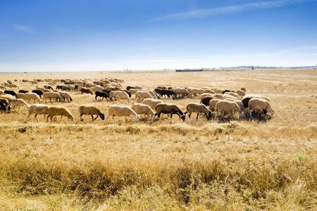 sheep herd, Zamora Province, Castile and Leon, Spain photo