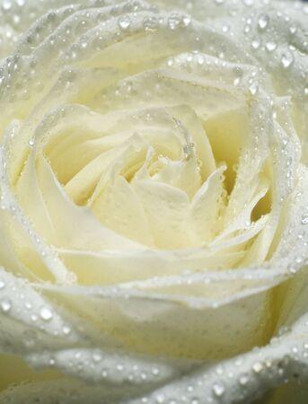 close up of white rose Stock Photo - 5750481