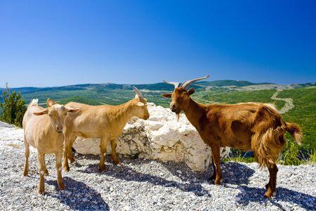 goats at Verdon Gorge, Provence, France Stock Photo - 5815178