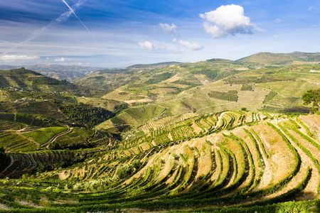 douro: vineyars in Douro Valley, Portugal