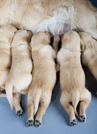 breastfeed: detalle de perro hembra de retriever dorado con cachorros Foto de archivo