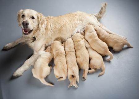 breastfeed: perro hembra de retriever dorado con cachorros Foto de archivo