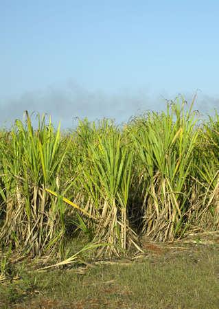 sugar cane field, Ren� Fraga, Cuba photo