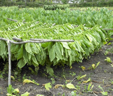 tobacco plants: tobacco harvest, Ciego de Avila Province, Cuba Stock Photo