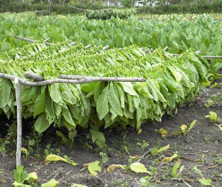 tobacco plants: tobacco harvest, Ciego de Avila Province, Cuba Stock Photo