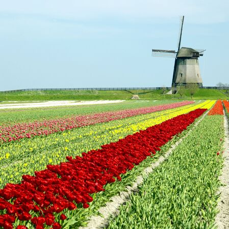 windmill with tulip field near Schermerhorn, Netherlands Stock Photo - 6011092