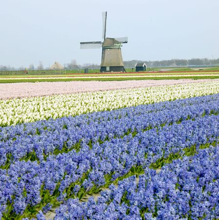 windmill with hyacinth field near Sint-Maartens-vlotbrug, Netherlands Stock Photo - 6040496