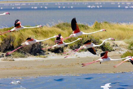 flamingos: flamingos, Parc Regional de Camargue, Provence, France