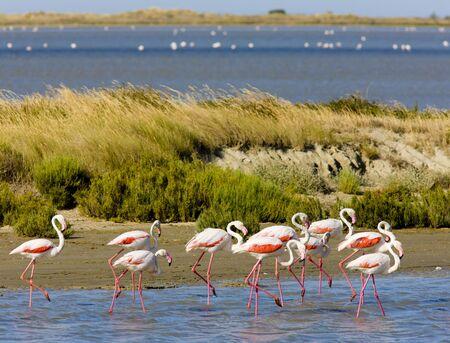 flamingos, Parc Regional de Camargue, Provence, France Stock Photo - 6158136