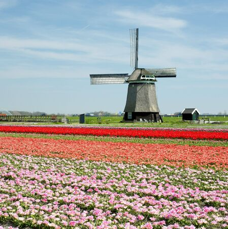 windmill with tulip field near Sint-Maartens-vlotbrug, Netherlands Stock Photo - 6306652