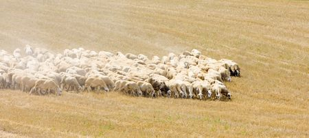 sheep herd, Castile-La Mancha, Spain photo