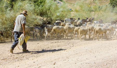 herdsman: sheep herd with herdsman, Badajoz Province, Extremadura, Spain Stock Photo