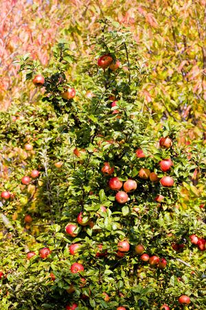 falltime: detail of apple tree with red apples Stock Photo