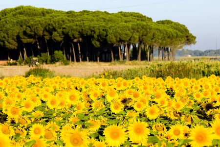 zamora: sunflower field, Zamora Province, Castile and Leon, Spain