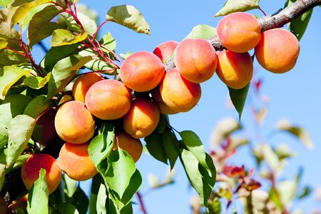 growers: apricots in orchard