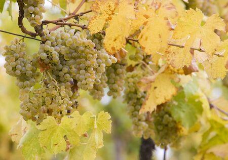 znojemsko: vineyard Jecmeniste, Eko Hnizdo, Czech Republic Stock Photo