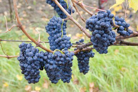 znojmo region: vineyard Jecmeniste, Eko Hnizdo, Czech Republic Stock Photo