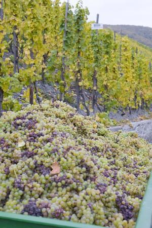moseltal: wine harvest, vineyard near Bernkastel, Rheinland Pfalz, Germany