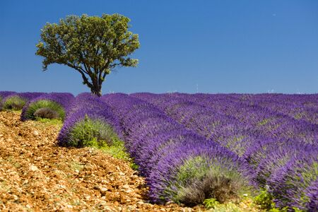 lavender field with a tree, Provence, France photo