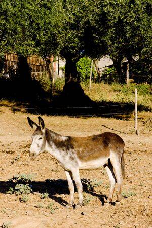 extremadura: donkey, Extremadura, Spain