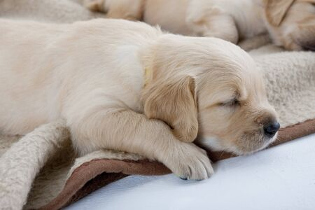 sleeping puppies of golden retriever