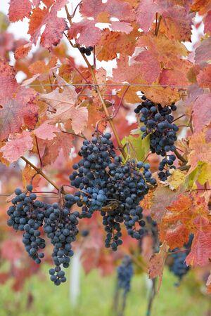 znojmo region: vineyard, Czech Republic Stock Photo