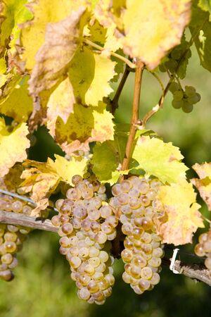 znojmo region: grapevine, Czech Republic Stock Photo