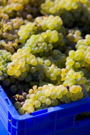 znojemsko: wine harvest (riesling), Czech Republic Stock Photo