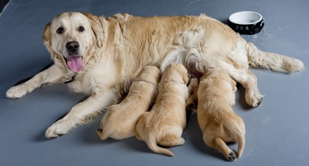lactation: female dog of golden retriever with puppies Stock Photo
