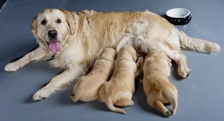 breastfeed: perro hembra de golden retriever con cachorros