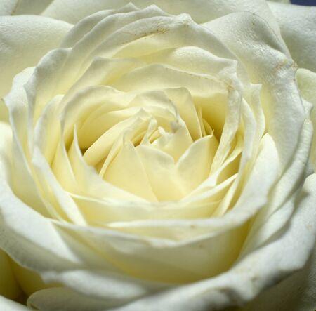 white rose Stock Photo - 7344201