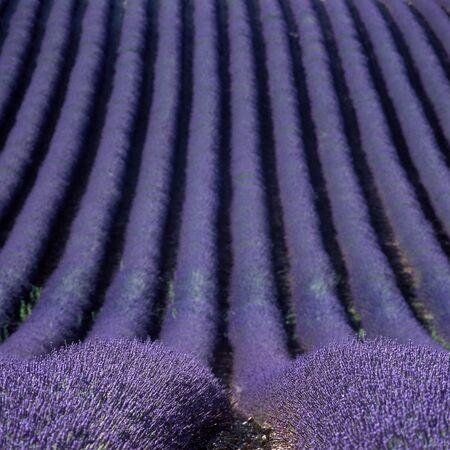 france perfume: lavender field, Plateau de Valensole, Provence, France Stock Photo