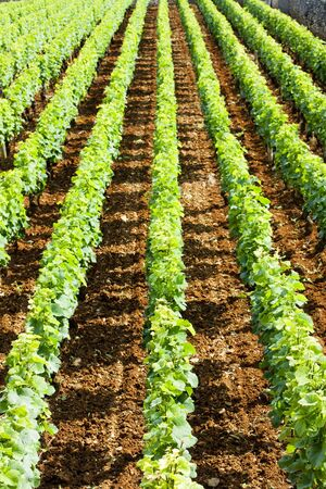 crus: vineyard near Brochon, Cote de Nuits, Burgundy, France Stock Photo