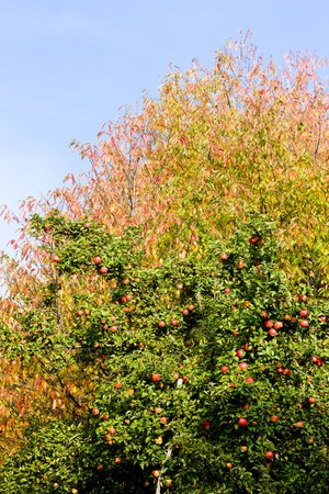 falltime: apple tree with red apples Stock Photo