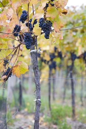 znojemsko: grapevines in vineyard Jecmeniste, Eko Hnizdo, Czech Republic Stock Photo