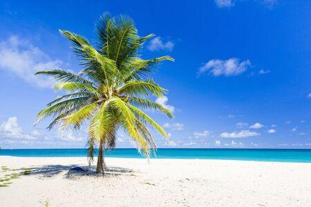 palmtree: Foul Bay, Barbados, Caribbean