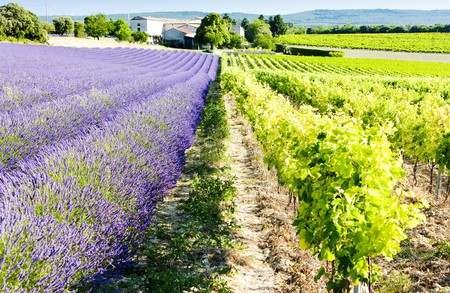 lavender field with vineyard, Drome Department, Rhone-Alpes, France photo