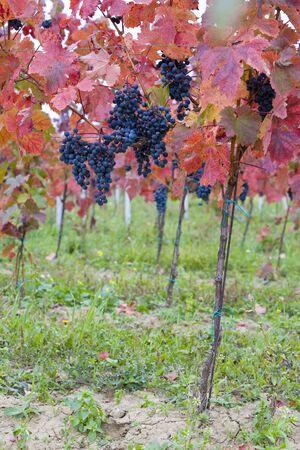 znojemsko: vineyard, Czech Republic Stock Photo