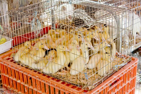 street market: ducklings at street market of Trancoso, Beira Province, Portugal Stock Photo