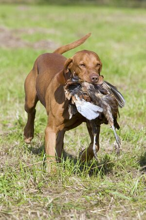 shootings: hunting dog with a catch Stock Photo