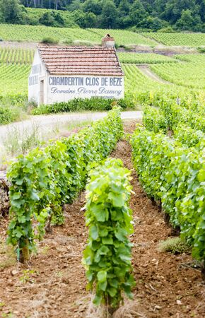 crus: vineyards near Gevrey-Chambertin, Cote de Nuits, Burgundy, France