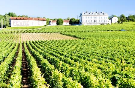 viniculture: vineyards of Comblanchien, Cote de Nuits, Burgundy, France