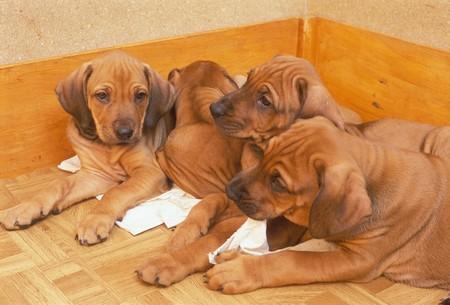 ridgeback: puppies (ridgeback)